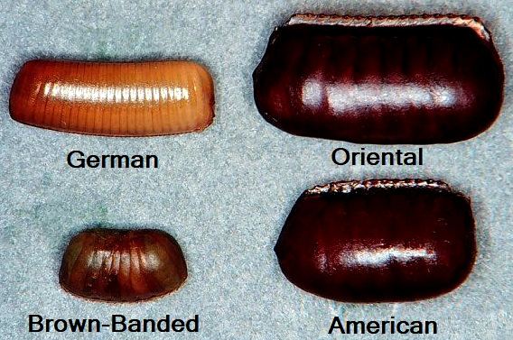 Different Types Of Cockroach Ootheca