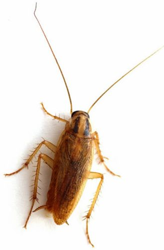 German Cockroach Identification