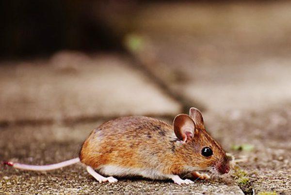Mice in a yard