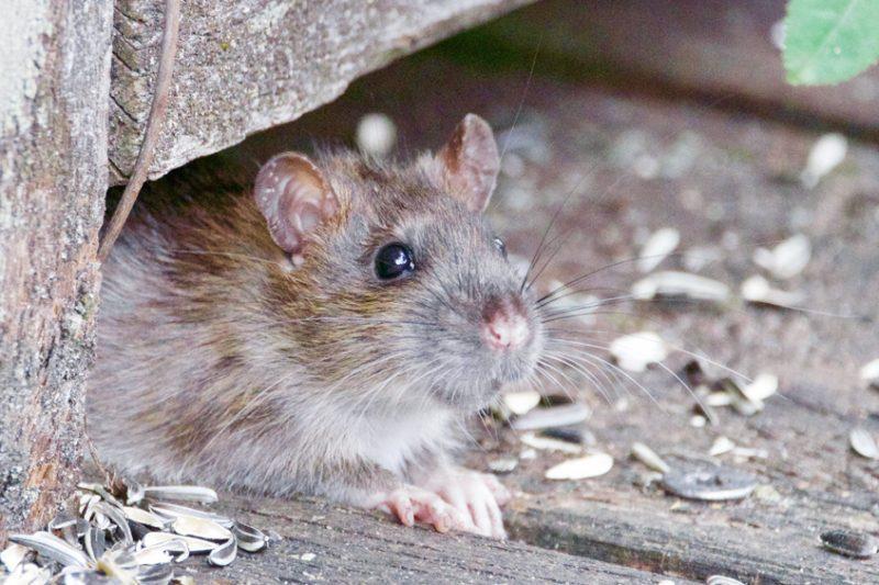 Rat Hiding Under the Wood Bench